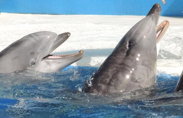 Dolphin-with-Rake-Marks