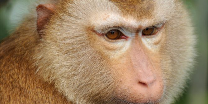 Victory! Japan Airlines Stops Shipping Monkeys to Labs