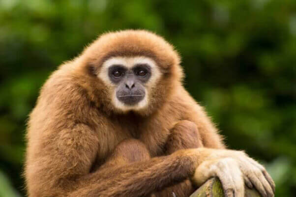 Gibbon in Borneo Rainforest