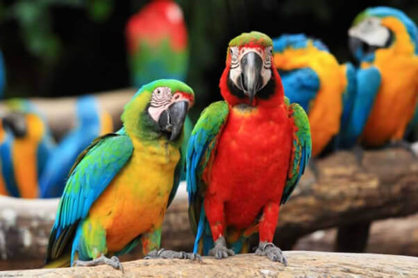 never buy scarlet macaws or other birds for sale as pets