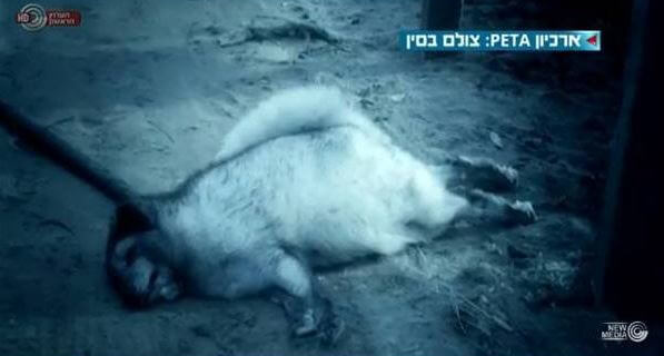 PETA footage on Israeli  news program