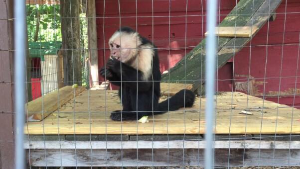 2015-06-09_capuchin-eating-apple-screenshot_Tri-State_Zoo