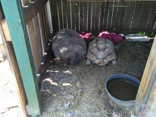 2015-06-09_sheep-and-tortoise_Tri-State_Zoo_IMG_3449
