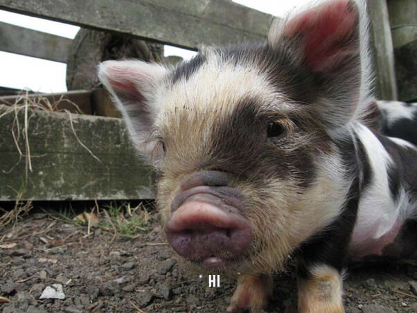 small spotted piglet