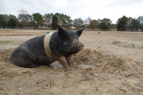 Big Boy in Mud