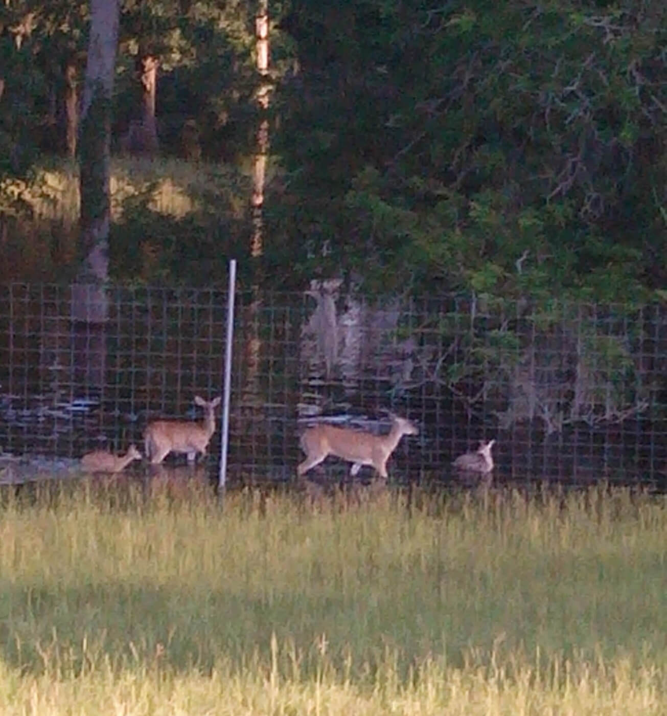 UPDATE: Deer at Flooded Game Ranch Now on Dry Land!