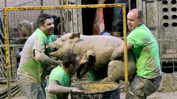 Pig Wrestling guys carry pig to a barrel