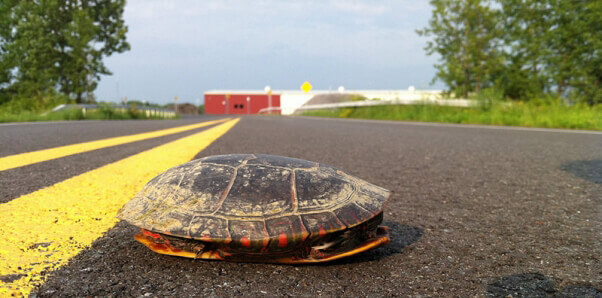 Turtle in the middle of the road