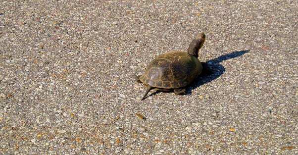 Turtles Need YOU This Season: Help Turtles Cross the Road Safely