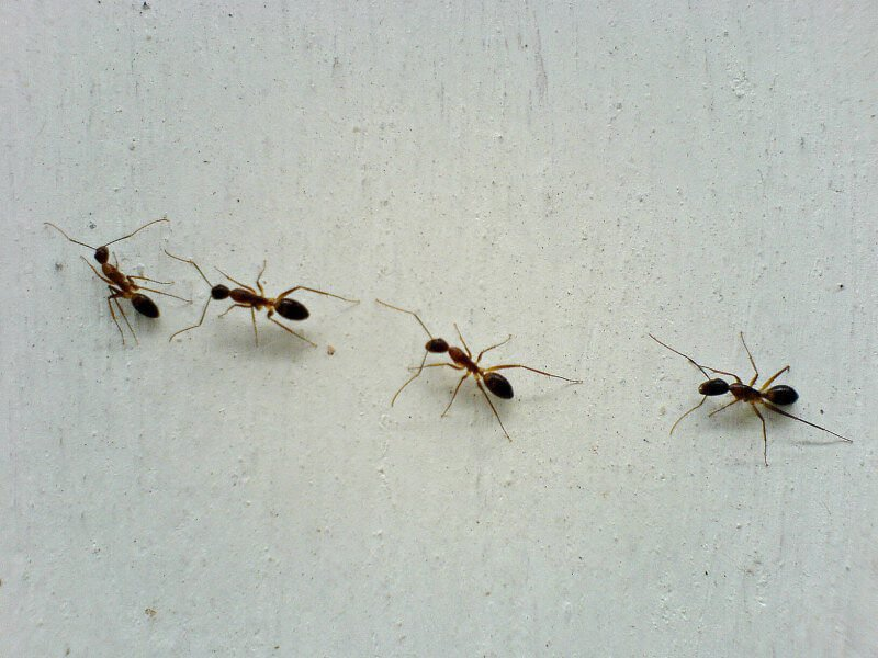 Tips For Humane Nontoxic Ant Control Peta