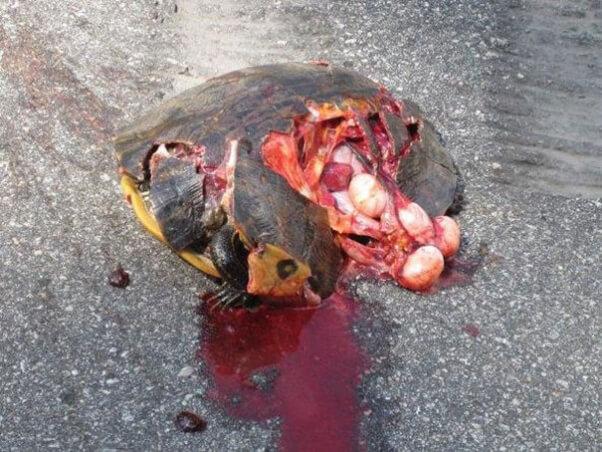 Crushed Turtle Still Alive