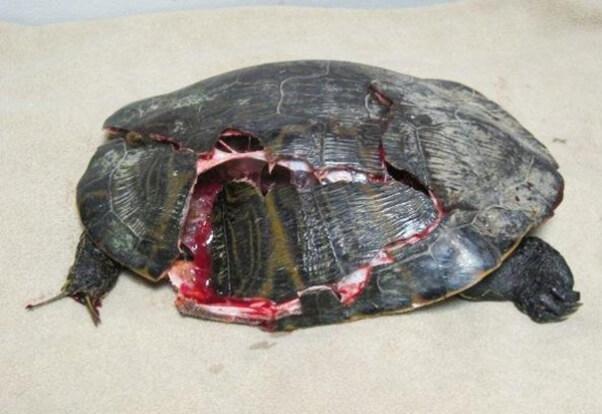 Turtles Need You This Season Help Turtles Cross The Road