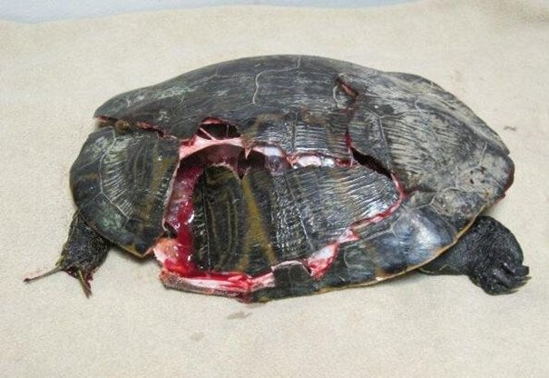 Crushed Turtle Shell