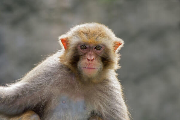 rhesus macaque who is dorothy