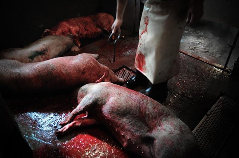 Pig at slaughterhouse after pig wrestling event