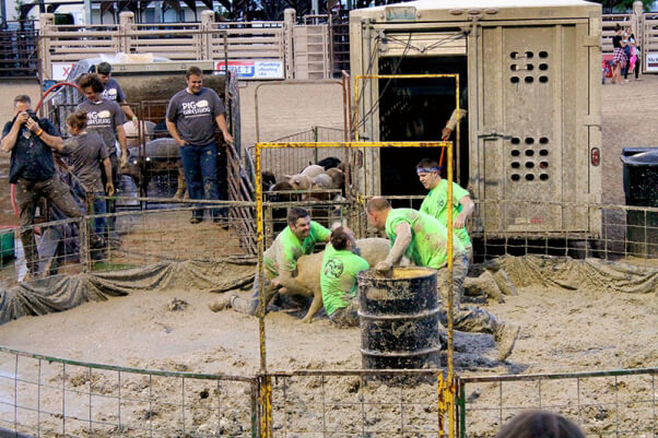 Men Wrestling with pig at pig wrestling event