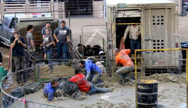 guys tackle pig at pig wrestling event