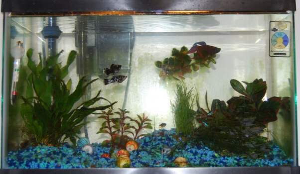 39 starter pets 39 end in misery never buy betta fish peta for Can betta fish live with other fish