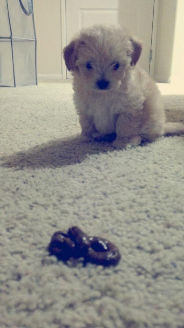 Dog Puppy poo