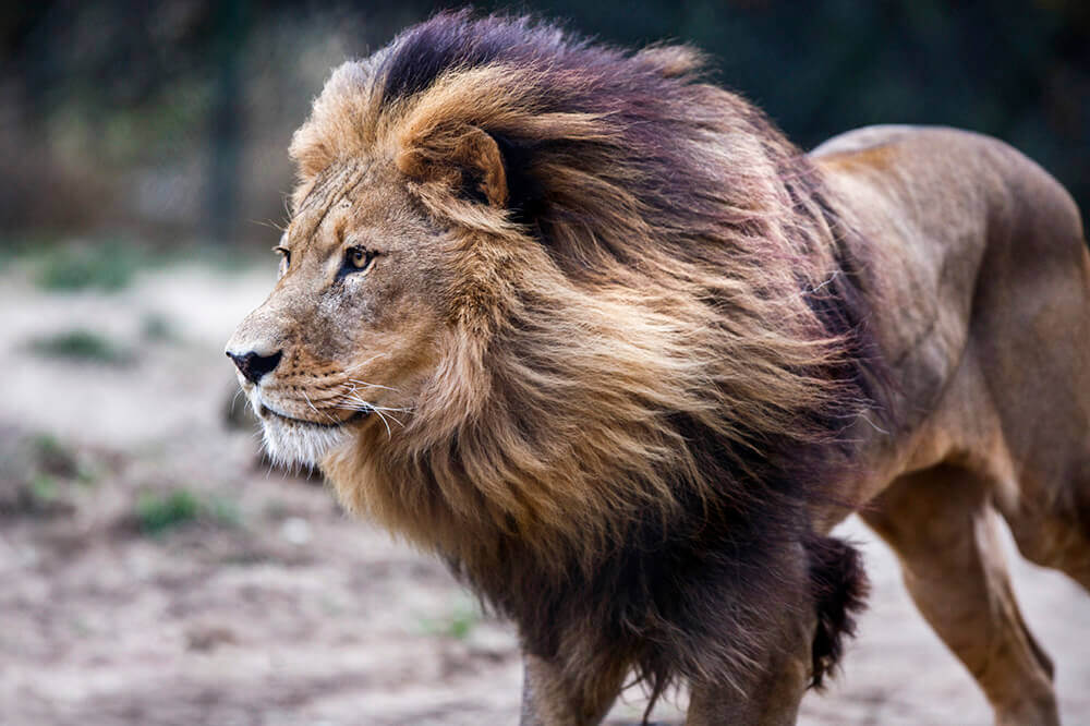 Victory! Take Action for Cecil the Lion