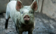 72 Piglets Dead After Farm Workers Jump on Them for 'Fun'
