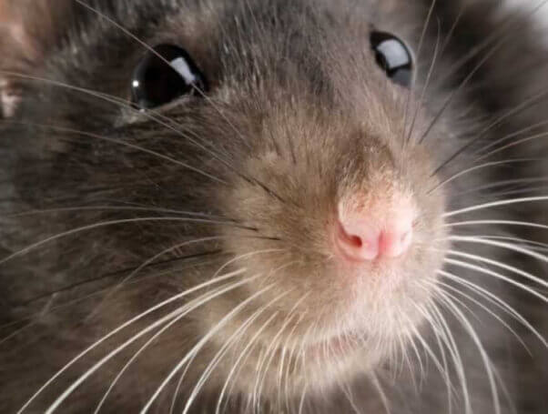 Close-up of rat's face