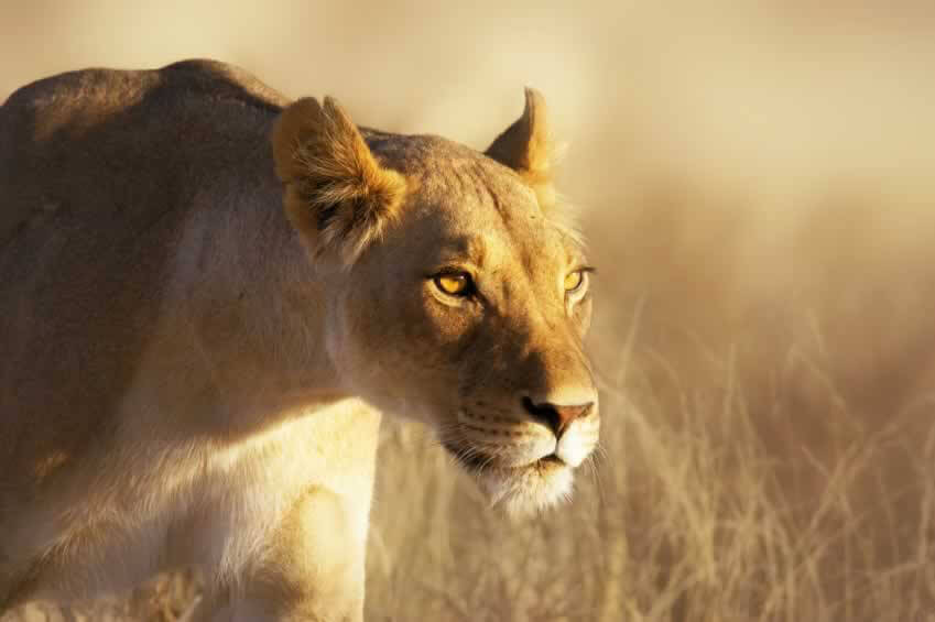 Female lion in the wild