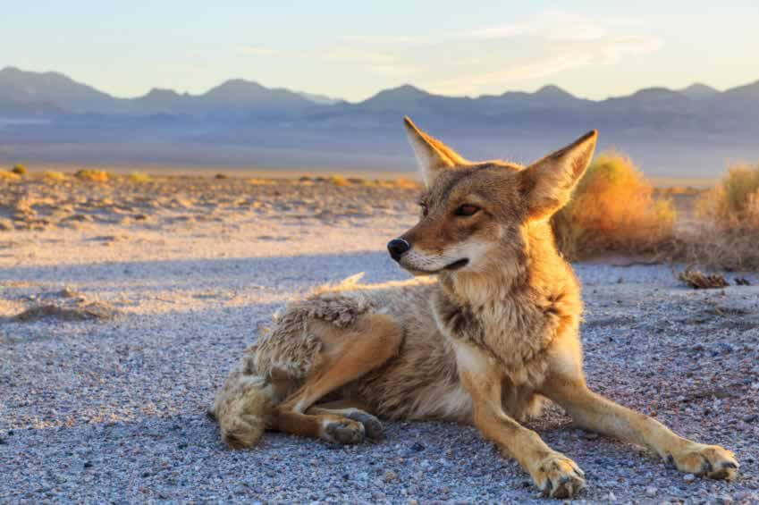 Victory for Coyotes in Arcadia, California!