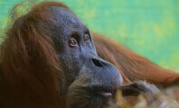 The Case of the Las Vegas Orangutan Beater Continues to Make History