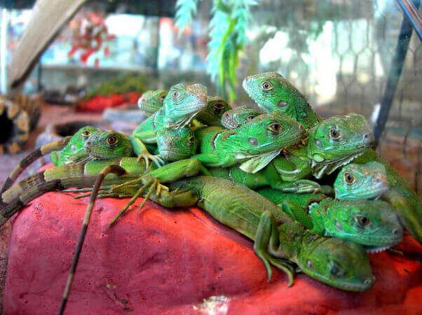 Lizards in Overcrowded Tank