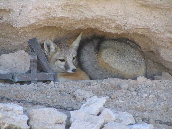 Fox caught in steel-jaw trap