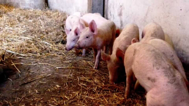11 piglets rescued by PETA
