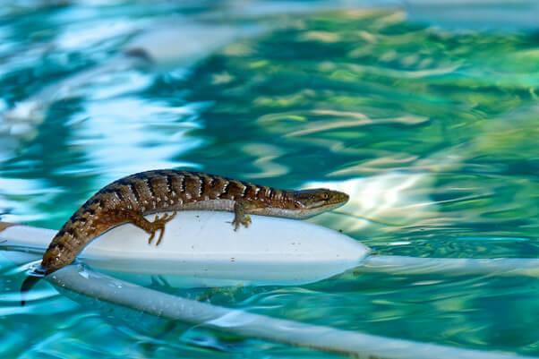 Lizard Swimming Pool