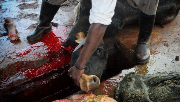 Cow-at-slaughterhouse