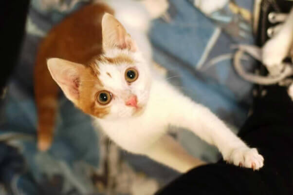 Brock, a kitten rescued by PETA who is available for adoption