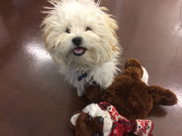 White dog with toy