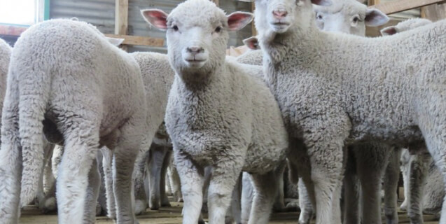 Patagonia Stops Buying Wool After Supplier Exposé: Lambs' Tails Cut Off, Throats Slit, Skinned Alive