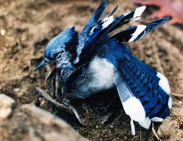 Blue Jay Caught in Steel-Jaw Trap
