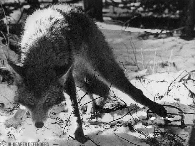 coyote-The-Fur-Bearer-Defenders