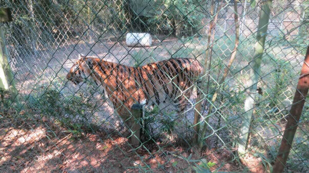 Tiger at Mobile Zoo