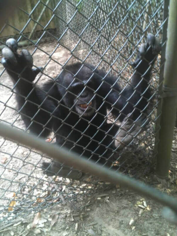 Chimpanzee at Mobile Zoo