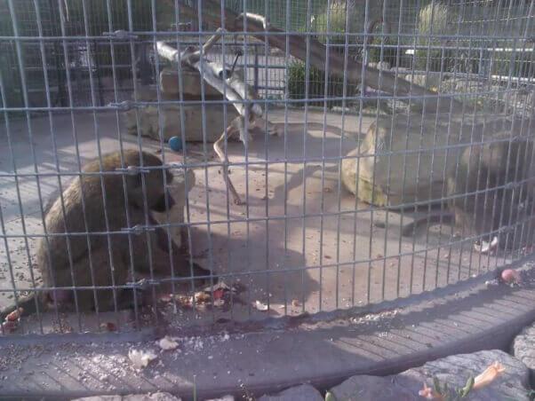 Caged bear at The Farm at Walnut Creek