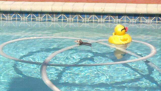 Animal pool safety how to prevent an animal from drowning for Chicken in swimming pool