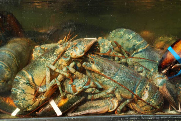 Crammed-Lobster-Tank