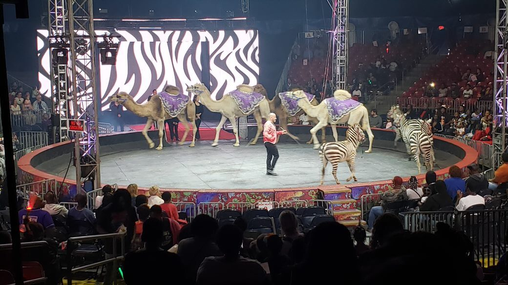 camerls and zebras at Universoul