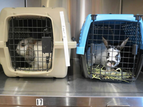 Two rabbits in carriers