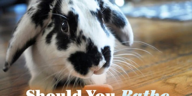 Should You Bathe a Bunny?
