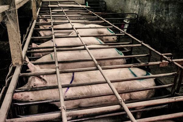 Pigs-in-crates