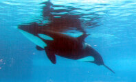 Are Orcas at SeaWorld Suffering From PTSD?