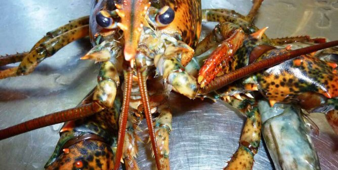 Ground-Breaking Case: Seafood Store Convicted for Cruelty to Lobster